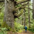 Impressive old Monterey Pine.- Shore Acres Loop Trail