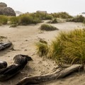 Driftwood and beachgrass.- Bandon State Natural Area