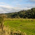 Elk herd at the Dean Creek reserve.- Dean Creek Elk Viewing Area