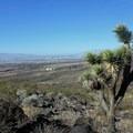 Lone Joshua tree near the trail.- Black Mountain Summit