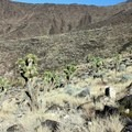 There is a small Joshua tree field as elevation increases.- Black Mountain Summit