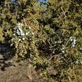 Juniper trees grow throughout the landscape.- Rimrock Springs Wildlife Management Area