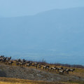Large herds of elk are common in the late summer and fall.- Loowit Falls