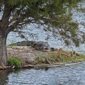 A large (between 10 and 12 feet) alligator sunbathing on a small island in the deepest waters of the area.- Wakodahatchee Wetlands