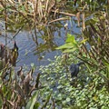 A swamphen and two moorhens.- Wakodahatchee Wetlands