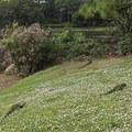 Green iguanas.- Morikami Japanese Gardens