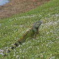 Green iguana.- Morikami Japanese Gardens