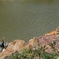 A cormorant and a male iguana.- Morikami Japanese Gardens