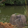 A green iguana by the lake.- Morikami Japanese Gardens