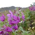 Fireweed (Chamerion angustifolium) along the Crow Pass Trail.- Crow Pass Trail Thru-Hike