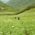 Thick wildflowers along the Crow Pass Trail in the Raven Creek Valley.- Crow Pass Trail Thru-Hike