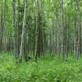 Paper birch (Betula neoalaskana) along the final stretch to the Eagle River Visitor Center.- Crow Pass Trail Thru-Hike