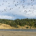 Masses of sea birds along the Sixes River.- Cape Blanco State Park