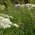 Cow parsnip (Heracleum maximum) along the Williwaw Lakes Trail.- Williwaw Lakes + Mount Elliot Scramble