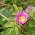 Wild rose along the Williwaw Lakes Trail.- Williwaw Lakes + Mount Elliot Scramble