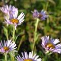 Unidentified species (help us identify it by providing feedback).- Williwaw Lakes + Mount Elliot Scramble