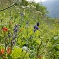 Wildflowers along the Williwaw Lakes Trail.- Williwaw Lakes + Mount Elliot Scramble
