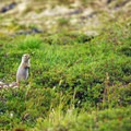 An arctic ground squirrel (Spermophilus parryii) on K'esugi Ridge.- Northern K'esugi Ridge via Little Coal Creek Trailhead