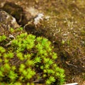 Unidentified moss species on the northern end of K'esugi Ridge.- Northern K'esugi Ridge via Little Coal Creek Trailhead