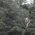 Juvenile bald eagle (Haliaeetus leucocephalus).- Prince William Sound + Surprise Glacier Tour