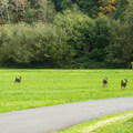Deer frequently wander through the campground.- Quosatana Campground