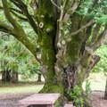 Heritage Oregon myrtle trees populate the campground.- Quosatana Campground