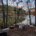 Goats making short work of the foliage growing on the lake shore.- Murphy Candler Park