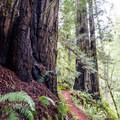 Some of Oregon's only native redwood trees.- Redwood Nature Trail