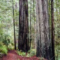This site is at the northern edge of the coast redwood's range.- Redwood Nature Trail