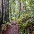 The trail traverses some very nice stands of redwoods.- Redwood Nature Trail