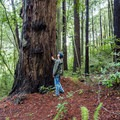 The redwoods here are not the largest, but they are quite impressive nonetheless.- Redwood Nature Trail