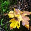 Bigleaf maple (Acer macrophyllum) leaf shows fall color.- Redwood Nature Trail