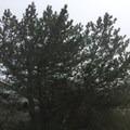Santa Cruz Island (Bishop) pine.- Santa Cruz Island: Prisoner's Harbor to Scorpion Anchorage