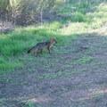 Santa Cruz island fox.- Santa Cruz Island: Prisoner's Harbor to Scorpion Anchorage