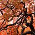 A Japanese maple (Acer palmatum) at Hatley Castle + Park National Historic Site.- Hatley Castle + Park National Historic Site