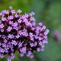 Unidentified flower species at Hatley Castle + Park National Historic Site.- Hatley Castle + Park National Historic Site