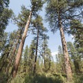 Ponderosa pines (Pinus ponderosa) standing tall over Indian Ford Campground.- Indian Ford Campground