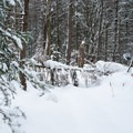 Occasional blowdowns add to the adventure.- Carpenter Road Ski Trails