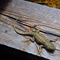 Plateau lizards can be seen by the dozens on Cable Mountain.- East Rim Trail to Cable Mountain