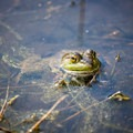 A frog relaxes in a small puddle at the top of the mountain.- Champlain Mountain via South Ridge Trail