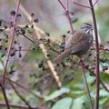 Fox sparrow (Passerella iliaca) in Merrit Orchard Park.- North Johnson Creek Trail