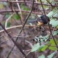 Spotted towhee (Pipilo maculatus).- North Johnson Creek Trail