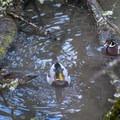 A male and female wood duck (Aix sponsa) and a male mallard (Anas platyrhynchos) in Johnson Creek. - North Johnson Creek Trail