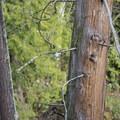 Western redcedar (Thuja plicata) in the Johnson Creek wetlands.- North Johnson Creek Trail