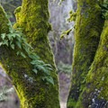 A bigleaf maple (Acer macrophyllum) with licorice ferns (Polypodium glycyrrhiza) in the Johnson Creek wildlife habitat.- North Johnson Creek Trail
