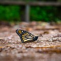 Watch your step in the sanctuary as cool temperatures can leave many monarchs along the walking path.- Monarch Butterfly Sanctuary