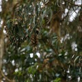 At first, clusters of monarch with closed wings may blend in with the eucalyptus leaves above.- Monarch Butterfly Sanctuary