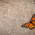 A monarch spreads its wings on the path.- Monarch Butterfly Sanctuary
