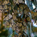 Binoculars can help in viewing the clusters of butterflies on high branches.- Monarch Butterfly Sanctuary