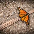 A western monarch butterfly.- Monarch Butterfly Sanctuary